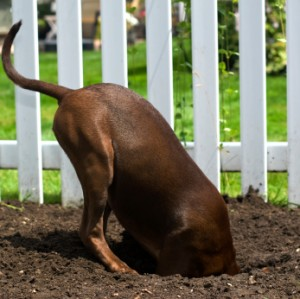 How to stop a dog from digging holes in the backyard
